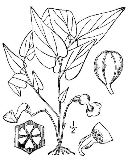 drawing of Endodeca serpentaria, Turpentine-root, Virginia Snakeroot, Serpent Birthwort