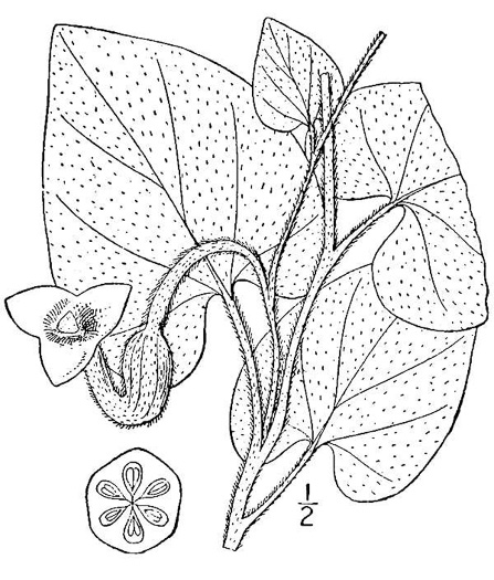 drawing of Isotrema tomentosum, Woolly Pipevine, Woolly Dutchman's Pipe