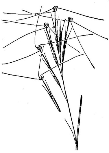 image of Aristida tuberculosa, Seabeach Needlegrass, Sandhills Three-Awn