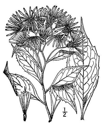 picture of Aster acuminatus, image of Oclemena acuminata