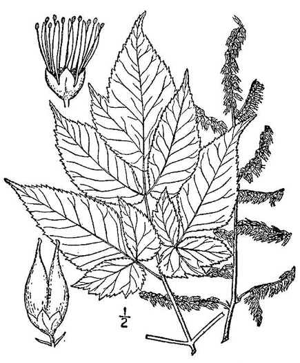image of Astilbe biternata, Appalachian False Goatsbeard