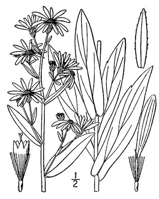 image of Symphyotrichum laeve var. laeve, Smooth Blue Aster