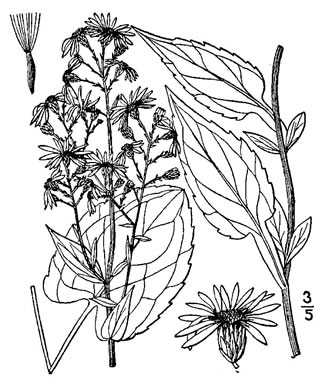 image of Symphyotrichum lowrieanum, Smooth Heart-leaved Aster, Lowrie's Aster