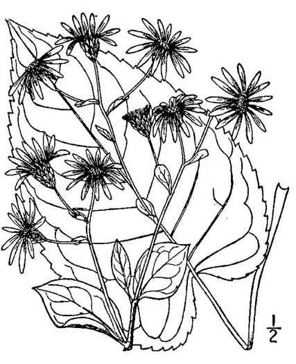 picture of Aster macrophyllus, image of Eurybia macrophylla