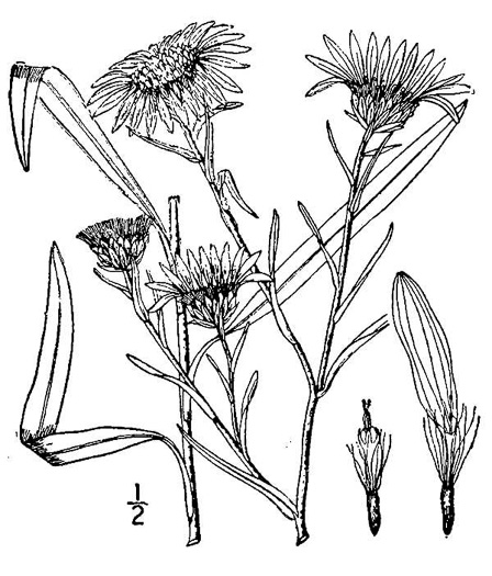 picture of Aster paludosus, image of Eurybia paludosa