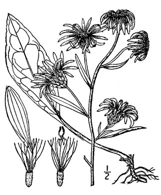 picture of Aster spectabilis, image of Eurybia spectabilis
