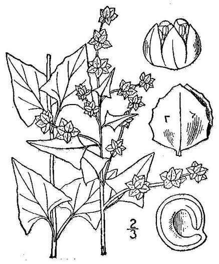 image of Atriplex prostrata, Thinleaf Orach, Fat-hen, Triangle Orach