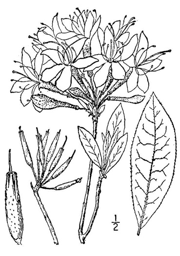 drawing of Rhododendron periclymenoides, Pinxterflower, Pinxterbloom Azalea, Election Pink, Pinxter Azalea