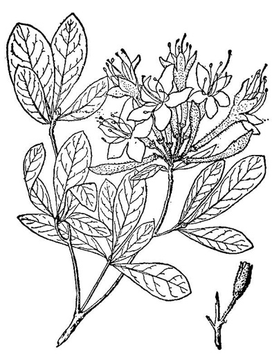 drawing of Rhododendron viscosum var. viscosum, Swamp Azalea, Clammy Azalea, Swamp Honeysuckle, Catchfly Azalea