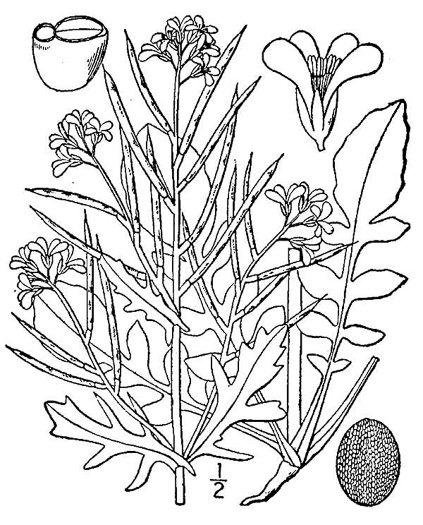 drawing of Barbarea verna, Early Winter-cress, Creasy