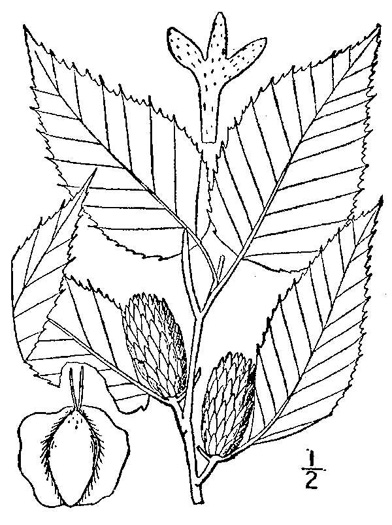 image of Betula alleghaniensis, Yellow Birch