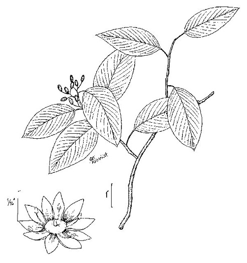image of Berchemia scandens