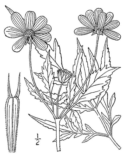 image of Bidens polylepis, Ditch Daisy, Bur-marigold, Ozark Tickseed-sunflower, Bearded Beggarticks