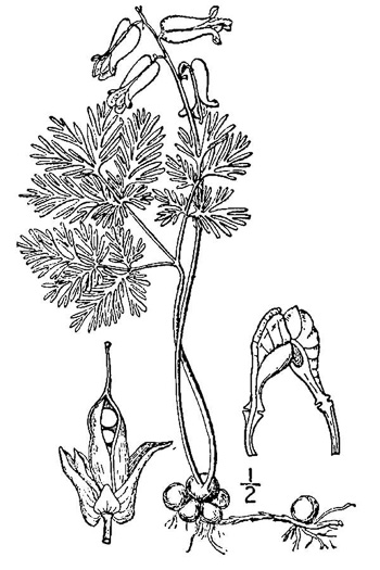 picture of Dicentra canadensis, image of Dicentra canadensis