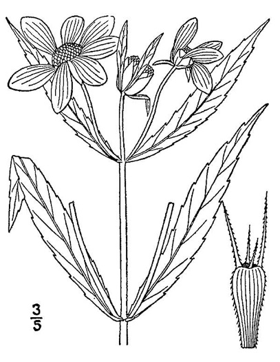 image of Bidens laevis, Showy Bur-marigold, Smooth Beggarticks