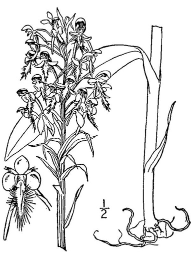 drawing of Platanthera ciliaris, Yellow Fringed Orchid