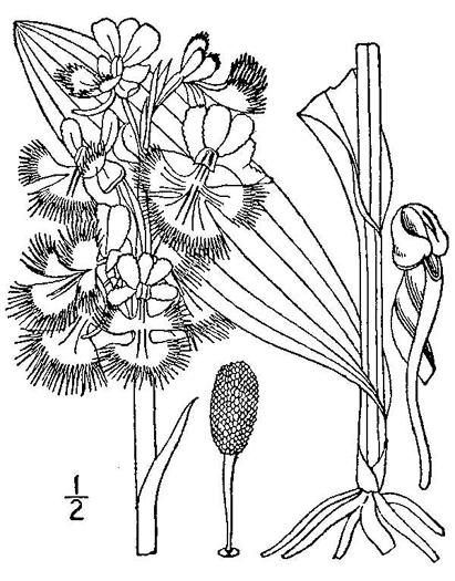 drawing of Platanthera grandiflora, Large Purple Fringed Orchid, Plume-royal, Greater Purple Fringed Orchid