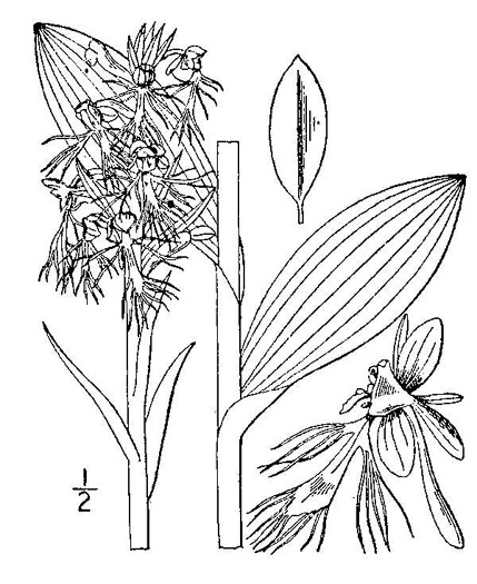 drawing of Platanthera lacera, Ragged Fringed Orchid, Green Fringed Orchid, Ragged Orchid