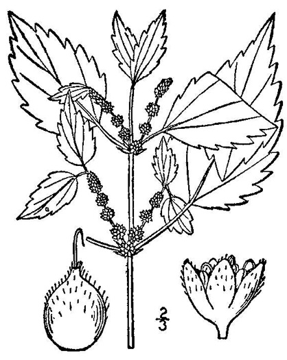 image of Boehmeria cylindrica, False Nettle
