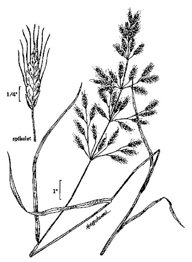 picture of Bromus japonicus, image of Bromus japonicus