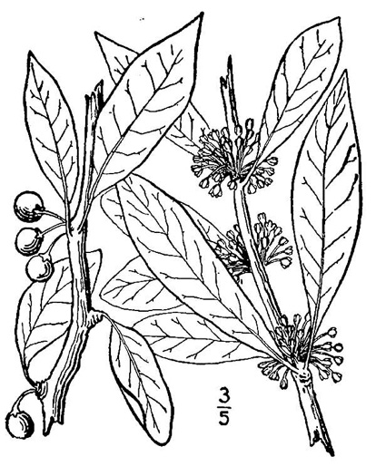 image of Sideroxylon lycioides, Buckthorn Bumelia, Buckthorn Bully