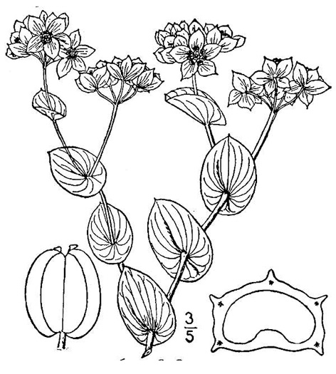 drawing of Bupleurum rotundifolium, Hound's-ear, Hare's-ear, Roundleaf Thoroughwax