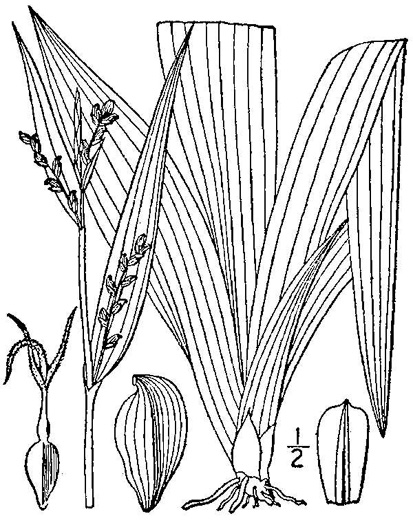 image of Carex albursina, White Bear Sedge