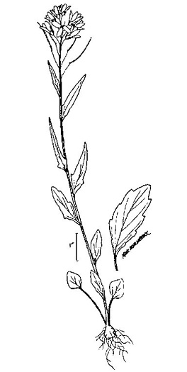 drawing of Cardamine bulbosa, Bulbous Bittercress, Spring Cress