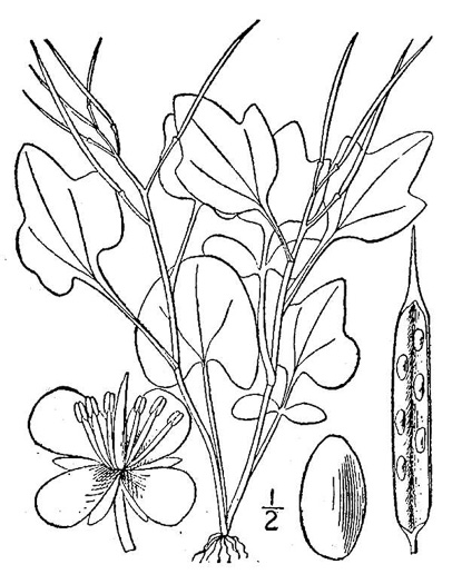 image of Cardamine clematitis, Clematis-leaved Bittercress, Mountain Bittercress