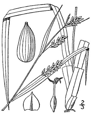 image of Carex flaccosperma, thinfruit sedge