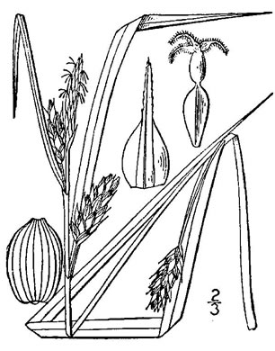 image of Carex grisea, inflated narrow-leaf sedge