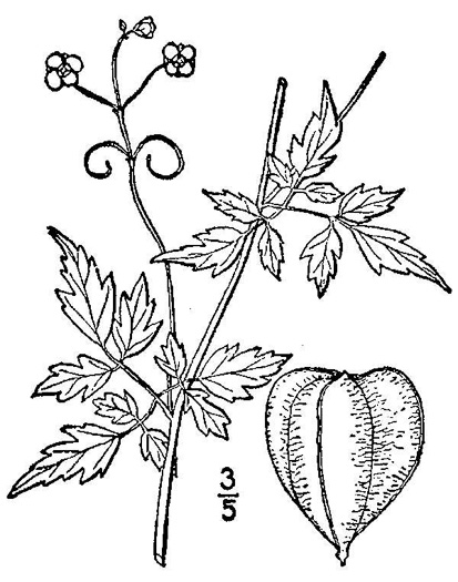 drawing of Cardiospermum halicacabum, Balloonvine, Love-in-a-puff, Heartseed