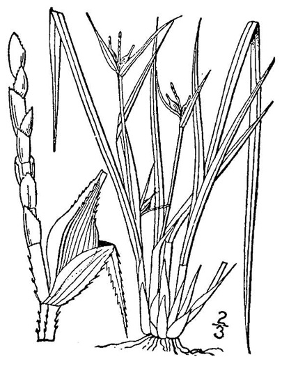 image of Carex jamesii, James's Sedge