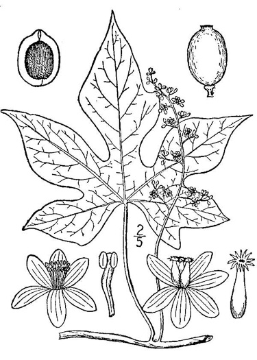 drawing of Calycocarpum lyonii, Cupseed, Lyonia-vine