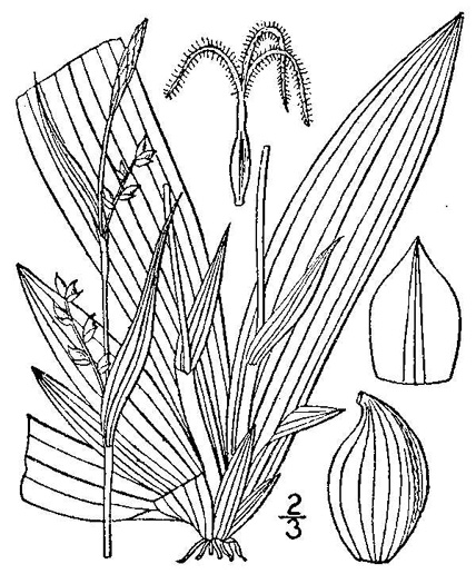 image of Carex platyphylla, Broadleaf Sedge