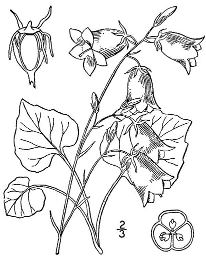 picture of -, image of Campanula rotundifolia