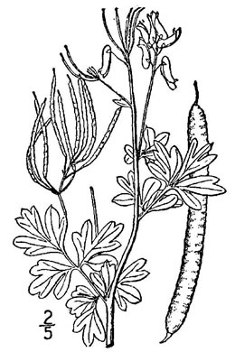 image of Capnoides sempervirens, Pale Corydalis, Rock Harlequin, Pink Corydalis, Tall Corydalis