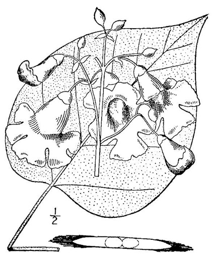 image of Catalpa speciosa, Northern Catalpa, Indian Cigar Tree, Catawba Tree
