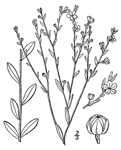 drawing of Linum virginianum, Virginia Yellow Flax, Woodland Flax