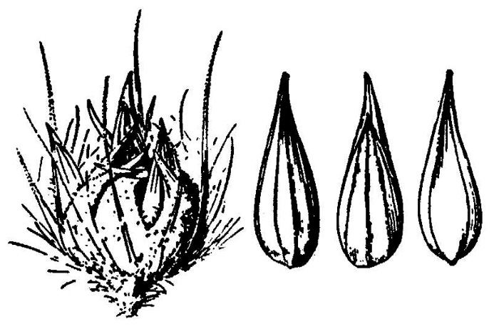image of Cenchrus brownii, slimbristle sandbur