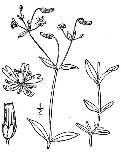 drawing of Cerastium nutans, Nodding Mouse-ear Chickweed, Nodding Chickweed