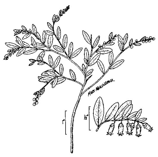 drawing of Chamaedaphne calyculata, Leatherleaf, Cassandra