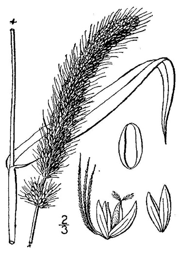 image of Setaria italica, Yellow Foxtail, Italian Millet, Foxtail Millet, Italian Foxtail