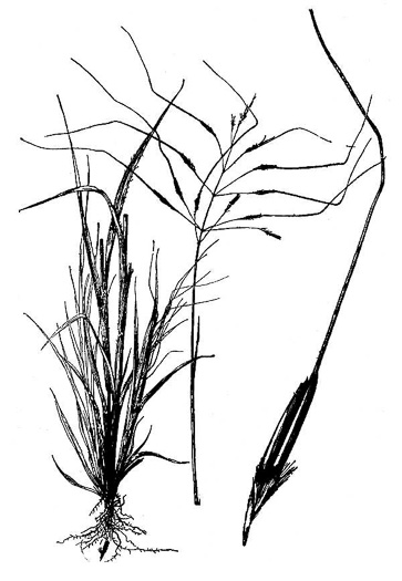 image of Chrysopogon pauciflorus, Florida Goldbeard, Florida Rhaphis