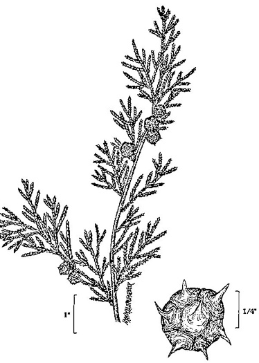 image of Chamaecyparis thyoides