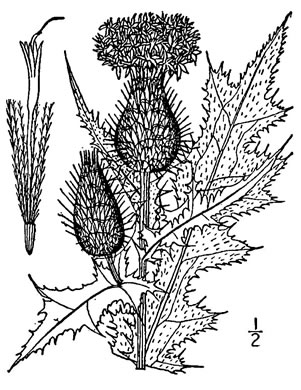 image of Cirsium vulgare, Bull Thistle