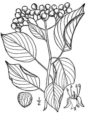 drawing of Swida alternifolia, Alternate-leaf Dogwood, Pagoda Dogwood, Pagoda Cornel