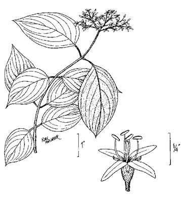drawing of Swida amomum, Silky Dogwood, Bush Dogwood, Silky Cornel