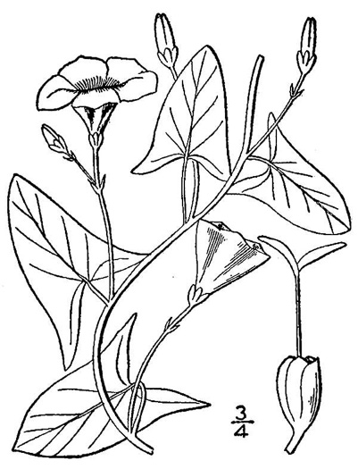 image of Convolvulus arvensis, Field Bindweed, Creeping Jenny, Possession-vine, Cornbind