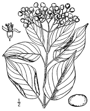 drawing of Swida asperifolia, Eastern Roughleaf Dogwood